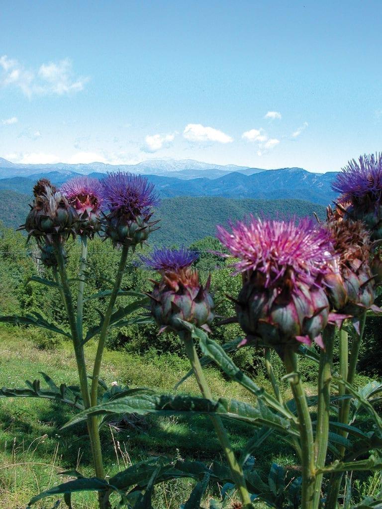 Fleurs de chardon  dans les montagnes de la Costa Brava