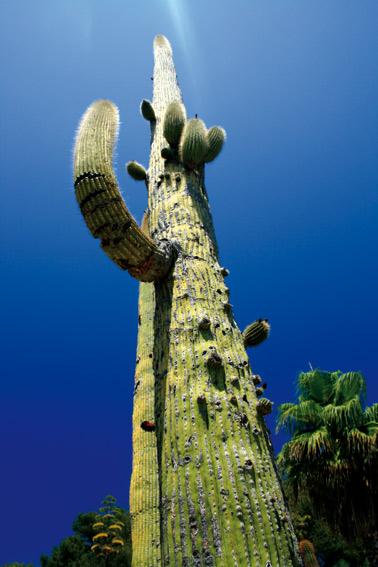 grosser-kaktus