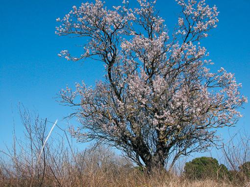 Blühender Mandelbaum an der Costa Brava