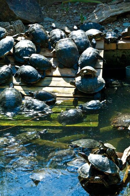 Schildkröten im Gehege