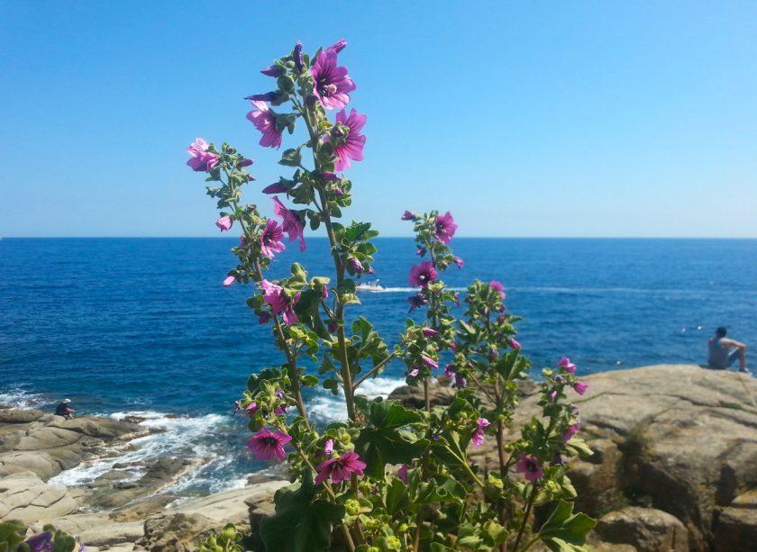Rosa Malven vor Meer