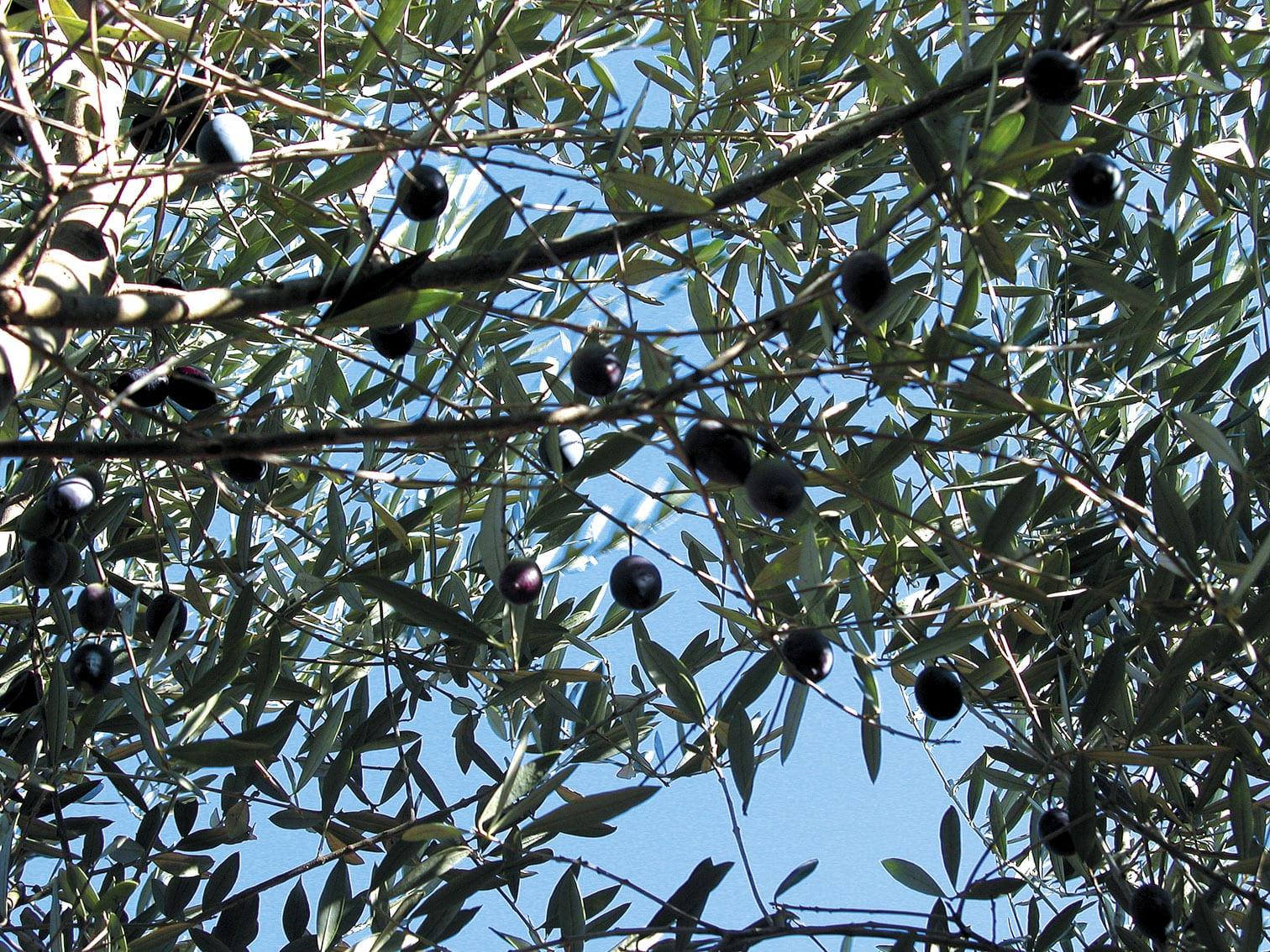 Oliven vor der Ernten