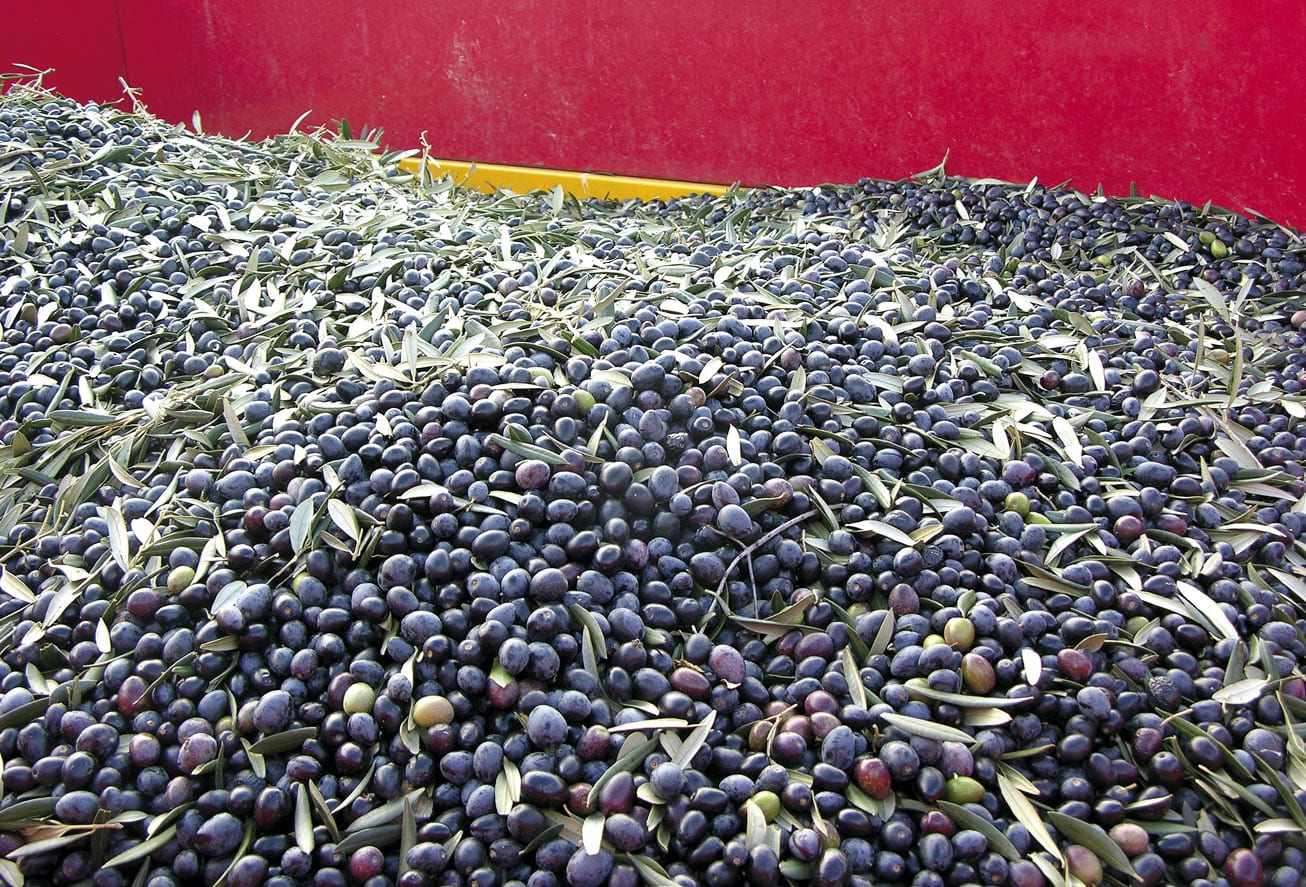 Oliven zum Transport zur Olivenöl Presse