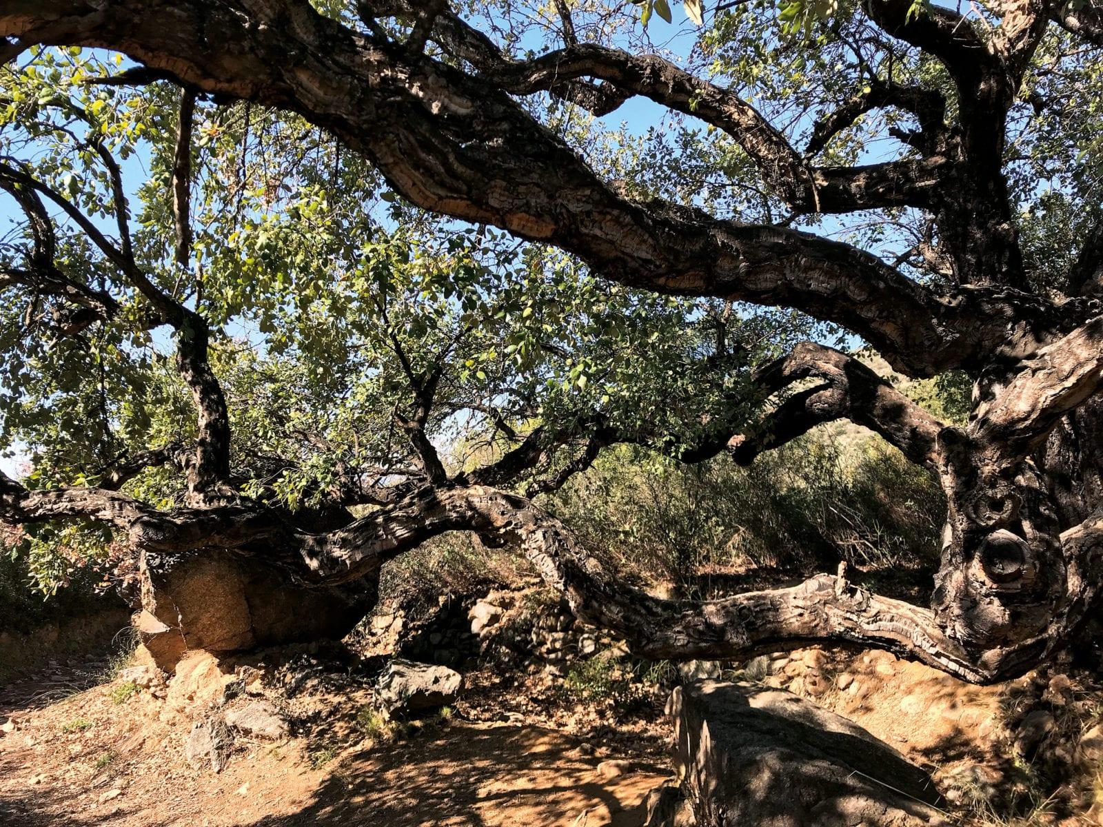 Urige Bäume Palau Saverdera