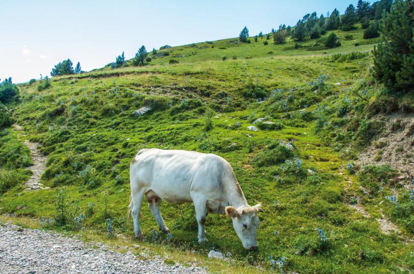 Ein Rind grast am Strassenrand.