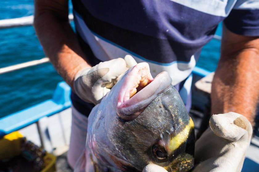 Der Fischer hat eine große Dorado gefangen