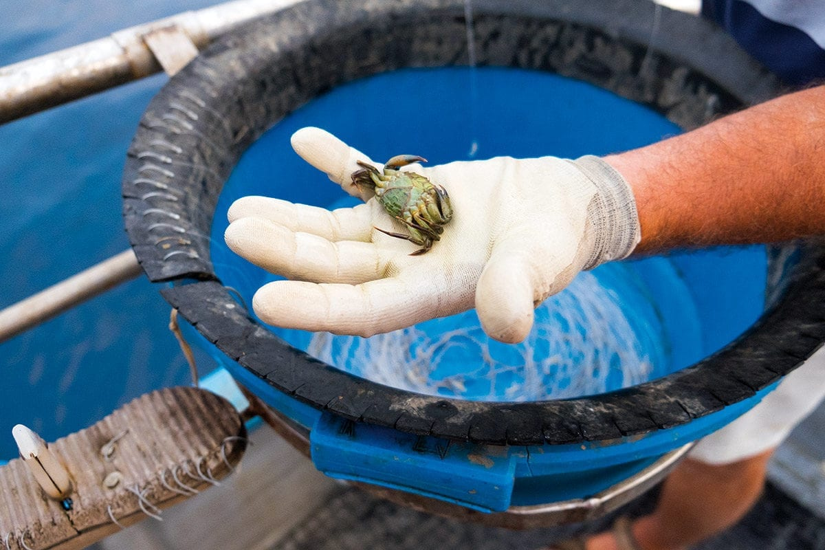 Krabbe als Fischköder