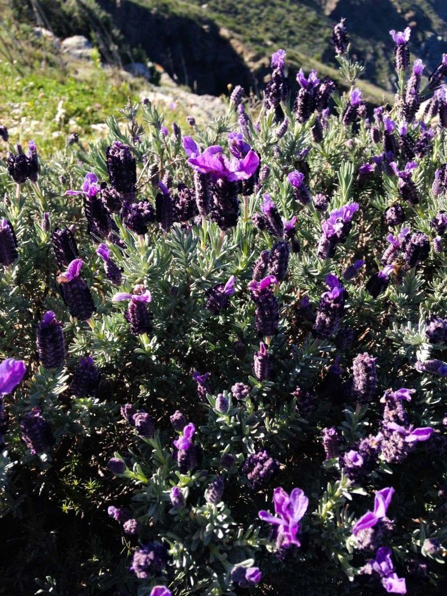 Der Lavendel betört alle Sinne.