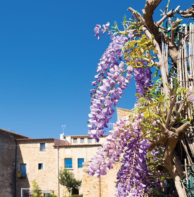 Der Blauregen (Wisteria), auch Wisterie, Wistarie, Glyzine schmückt die Steinhäuser im Empordà