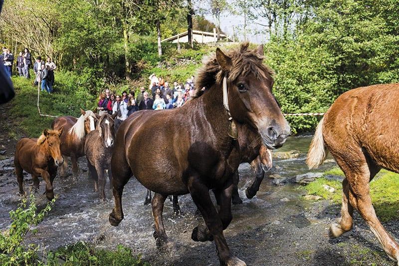 Pferde beim Abtrieb in Mollò