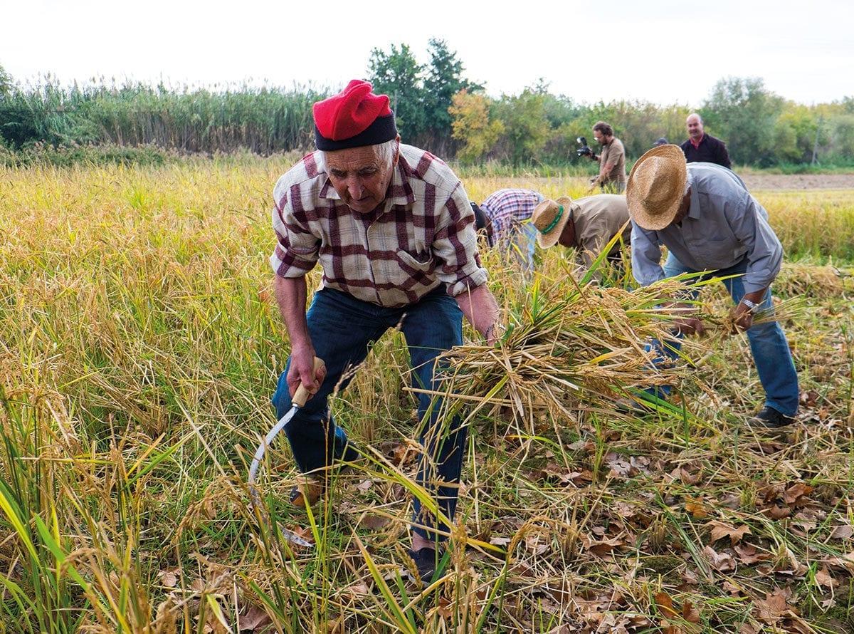 Bauer in Pals erntet Reispflanze