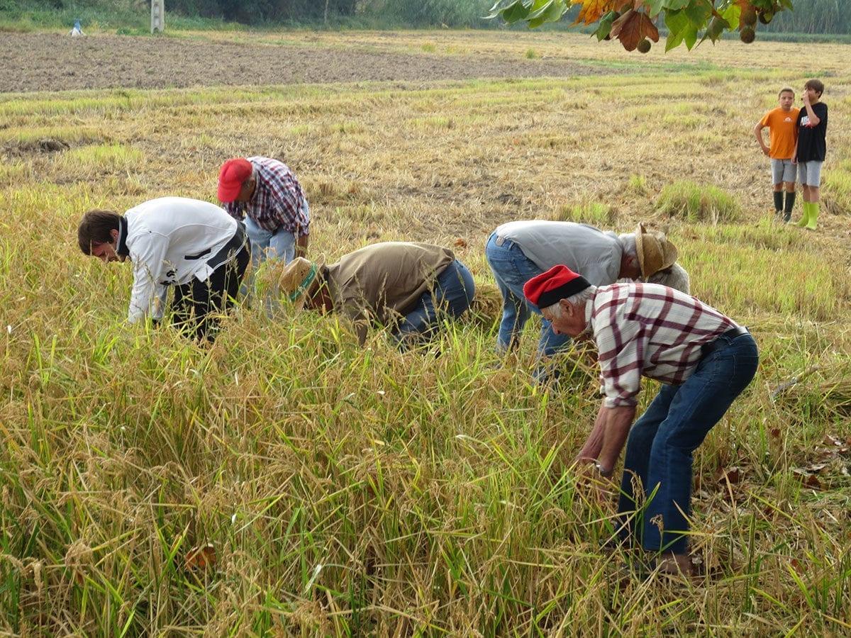 Reisbauern bei der Ernte
