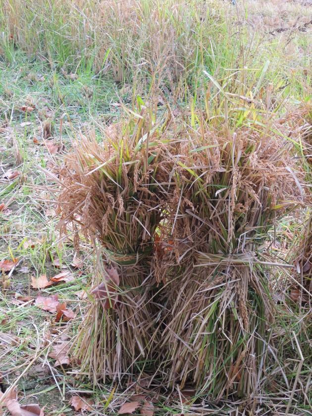 Gebundene Reispflanze