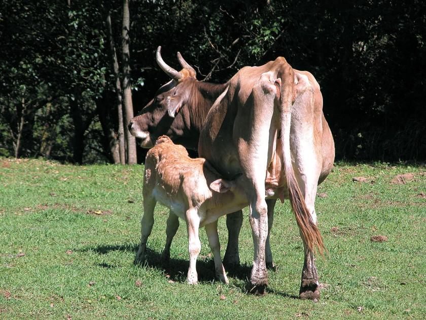 Kuh mit Kalb in freier Natur