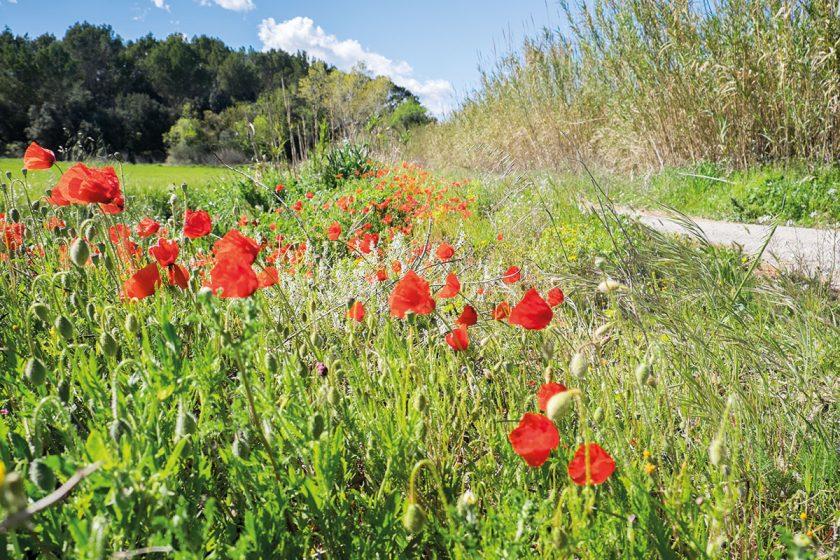 Rote Blumen im Feld