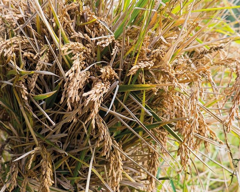Reispflanze nach der Ernte