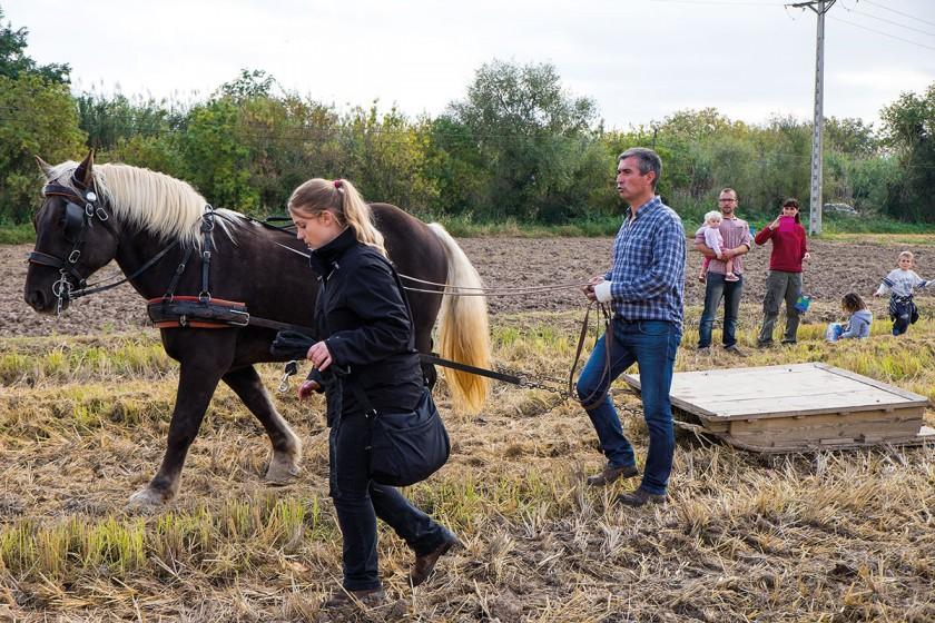 Pferd und Bauer bei der Reisernte
