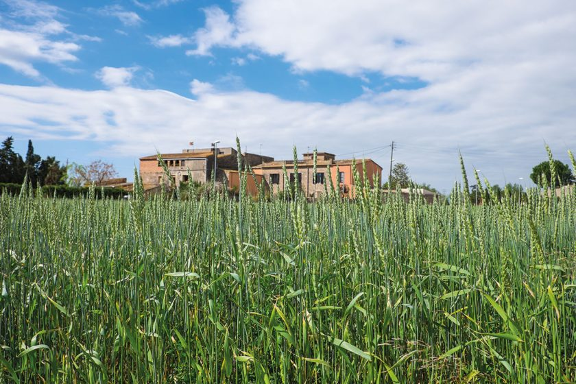 Masia hinter Getreidefeld